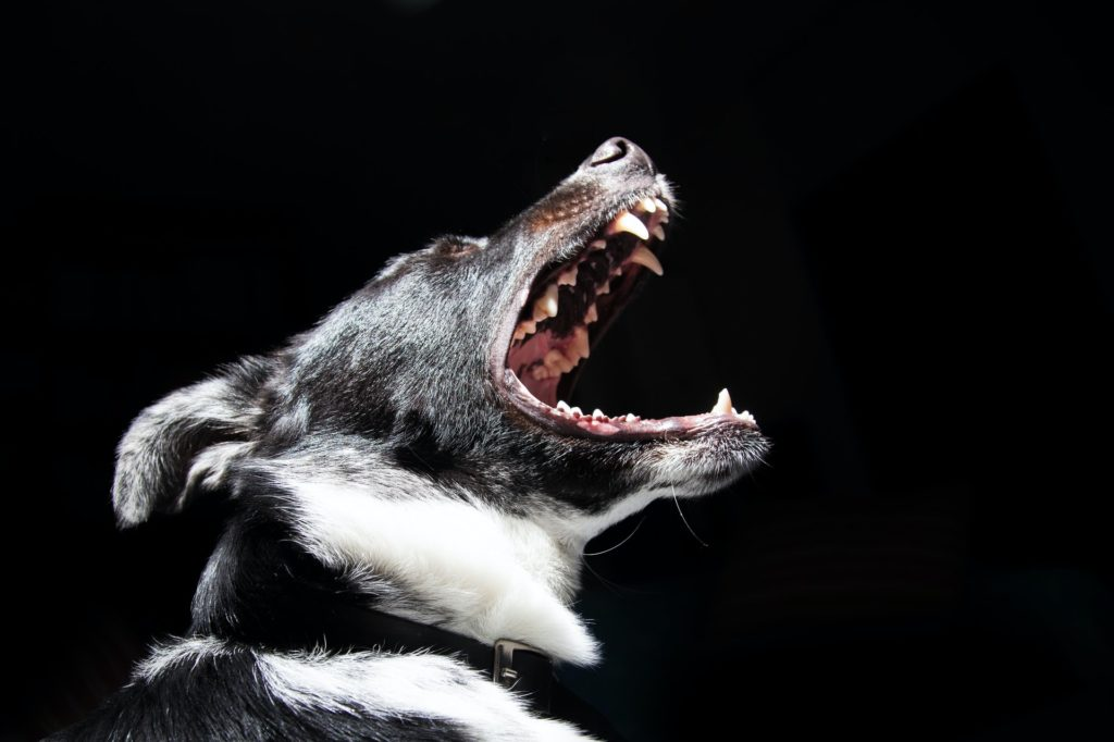 This is an image of a dog's teeth.